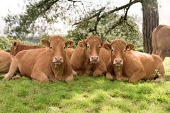 Três vacas que encontram-se no prado Fotografia de Stock