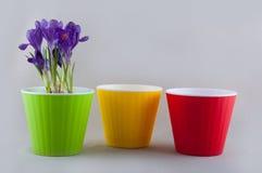 Três vasos de flores e açafrões plásticos coloridos Imagens de Stock Royalty Free