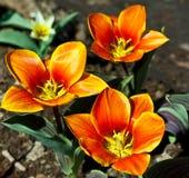 Três vermelhos com as listras amarelas da tulipa crescem na terra imagens de stock