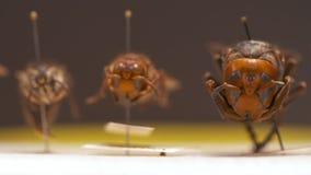 Três vespas na exposição video estoque