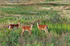 Três Virginia Whitetail Fawns Imagens de Stock