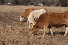 Três vitelas Foto de Stock Royalty Free
