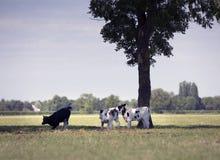 Três vitelas preto e branco apreciam a sombra ou a árvore no prado holandês gramíneo verde imagens de stock