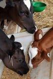 Três vitelas que comem junto de uma calha branca foto de stock