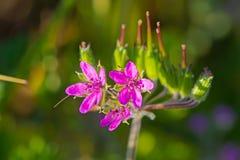 Três wildflowers cor-de-rosa com obscuridade - estame vermelho Fotografia de Stock
