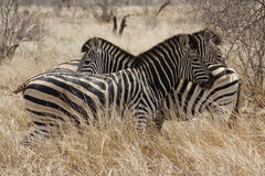Três zebras Fotografia de Stock Royalty Free