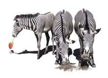 Três zebras Fotos de Stock Royalty Free