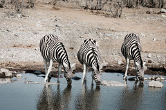 Três zebras bebendo Foto de Stock Royalty Free