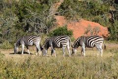 Três zebras bonitas em um prado em África do Sul Fotos de Stock
