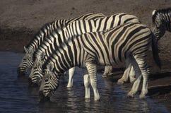 Três zebras em um furo molhando imagem de stock