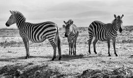 Três zebras preto e branco - família Fotografia de Stock Royalty Free
