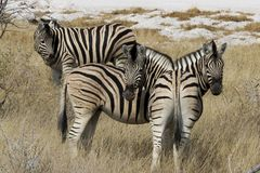 Três zebras: Quem é quem? imagens de stock