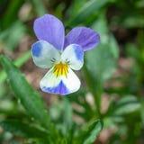 Trícolor hermoso de Víola de la flor imagen de archivo