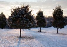 Trío de árboles de hoja perenne nevados Foto de archivo
