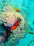 Trío de Clownfish Fotos de archivo