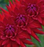 Trío de dalias rojas sucesivamente Foto de archivo libre de regalías