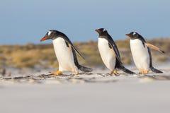 Trío de Gentoo Pengions que toma un paseo en la playa Foto de archivo libre de regalías