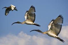 Trío de Ibis sagrado africano juvenil en vuelo Fotos de archivo