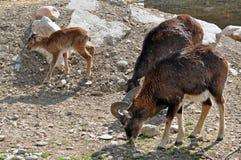 Trío de la cabra Fotografía de archivo libre de regalías