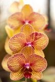 Trío de la orquídea Fotografía de archivo