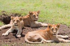 Trío de leones jovenes Imagenes de archivo