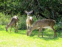 Trío de los ciervos en peligro de la llave de la Florida Fotografía de archivo