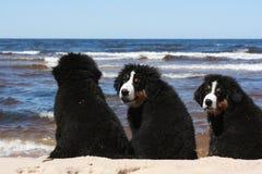 Trío de los perritos de Sennenhund en la playa Imagen de archivo