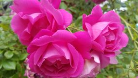 Trío de Rose Fotos de archivo libres de regalías
