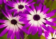 Trío de Senetti de flores rosadas y púrpuras imagen de archivo