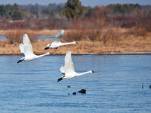 Trío del cisne de tundra fotografía de archivo libre de regalías