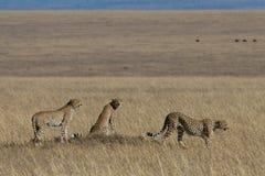 Trío del guepardo Foto de archivo