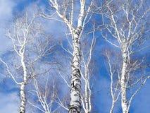Trío del tronco del abedul contra el cielo Fotos de archivo libres de regalías