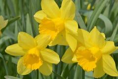 Trío glorioso de la primavera Fotografía de archivo
