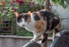 Trójbarwny przybłąkany kot outdoors Zdjęcia Royalty Free