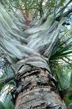 Trójbok palma Fotografia Stock