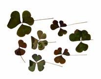 Trójgraniasty ciemnozielony gładzi liście bez jasno określony stru Zdjęcia Royalty Free