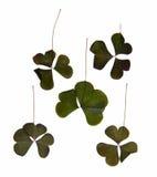 Trójgraniasty ciemnozielony gładzi liście bez jasno określony stru Zdjęcie Stock