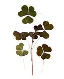 Trójgraniasty ciemnozielony gładzi liście bez jasno określony stru Zdjęcia Stock