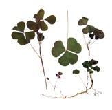Trójgraniasty ciemnozielony gładzi liście bez jasno określony stru Obraz Royalty Free