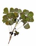 Trójgraniasty ciemnozielony gładzi liście bez jasno określony stru Zdjęcie Royalty Free