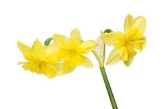Trójki głowiasty Daffodil Obraz Royalty Free