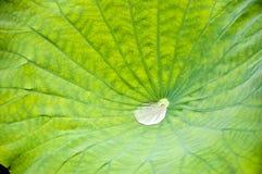 Tröpfchen im Lotosblumenblatt Stockfotos
