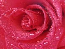Tröpfchen Rose Stockfotos