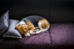 Trött beagle som sover på slutet av dagen Arkivbilder