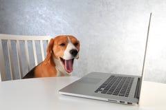 Trött beaglehund med den öppnade munnen på bärbara datorn Hunden gäspar, når den har arbetat Arkivbilder
