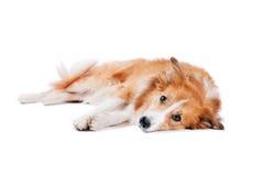 Trött Border collie hund som ligger på en vit bakgrund Royaltyfri Bild