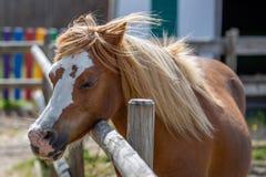 Trött brun ponny fotografering för bildbyråer