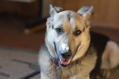 Trött hund Fotografering för Bildbyråer