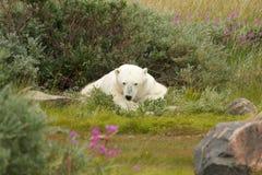 Trött isbjörn 1 fotografering för bildbyråer