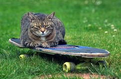 Trött katt på en skateboard Arkivbild